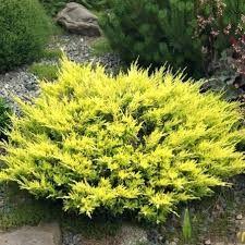 Jałowiec płożący Limeglow żółty,złoty sadzonki multiplat