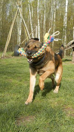 Duży pies w typie owczarka