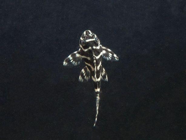 Glonojad Hypancistrus L 333 4 - 4,5 cm