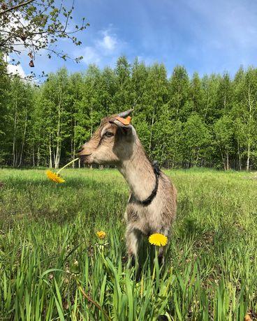 Kozy koza kózka młoda
