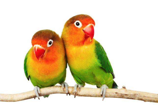 Попугай неразлучник фишера, парованная пара