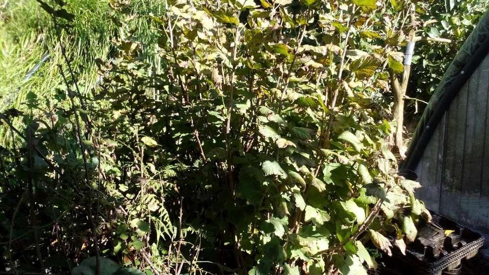 Plantas groselha Amarante - imagem 1