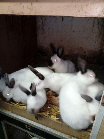 Sprzedaż królików