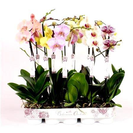 Растения Орхидеи оптом из Голландии, Европы, Азии, Тайваня, Китая, ЕС