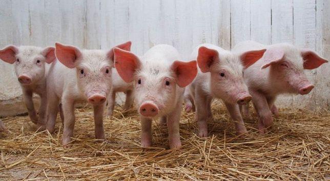 Свині, Свиня на забій, поросята малі.