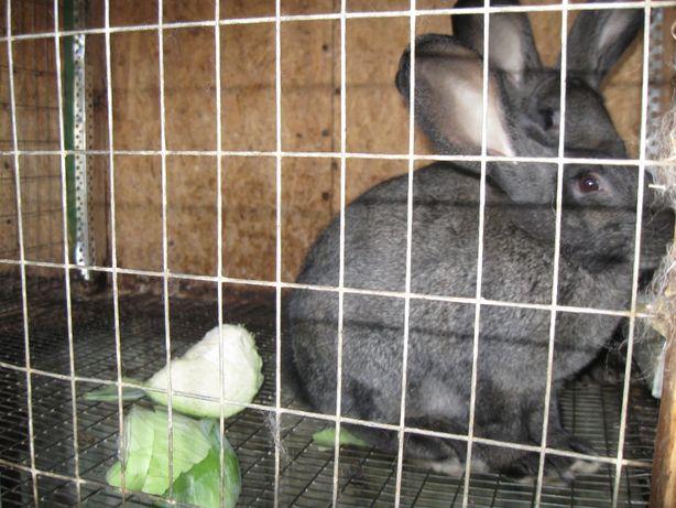 Самочка кролика породы серый великан