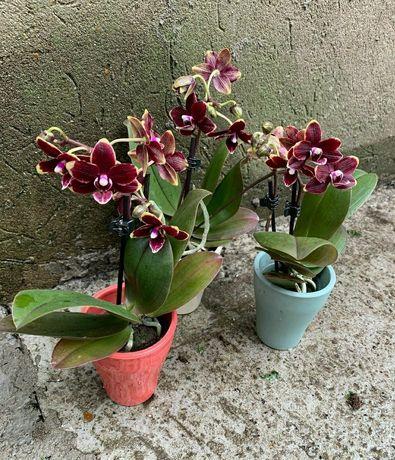 Орхидея Птичка воск