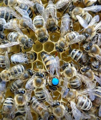 Matka pszczela czerwiąca, matki pszczele