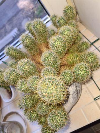 Кактус отростки кактуса