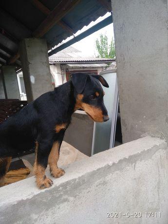 Собаку ягдтерьер