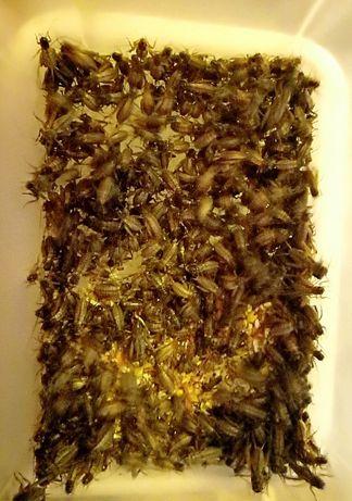 Кормовые насекомые от 25коп сверчки тараканы личинки Отправки