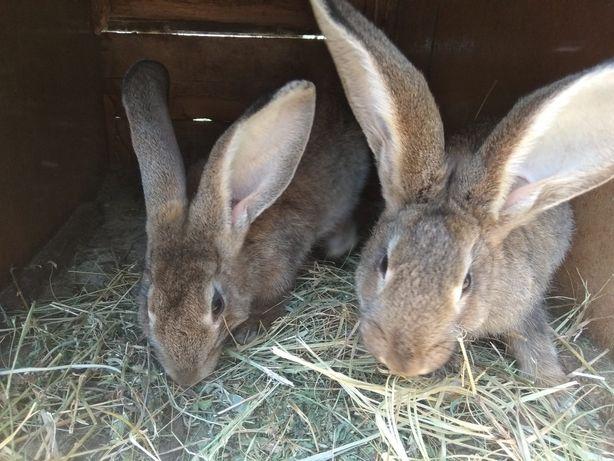 Продам кролів фландери