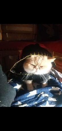 Кот короткошерстный перс ЭКЗОТ НА ВЯЗКУ мальчик,Очень хочет кошечку