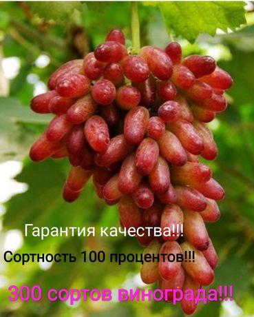 Саженцы элитного винограда 300 сортов!!!
