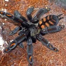 подарок-экзотическое животное- паук птицеед павук тарантул брахипельма