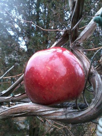 Саженец яблони, 2-х летний. Яблоки очень вкусные, сладкие, красивые!