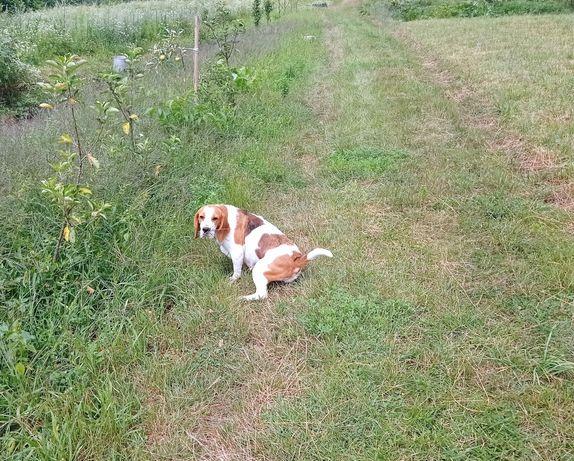 Piękna Suka Beagle