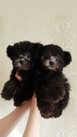 Dog female, teddy poodle!
