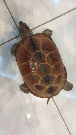 Żółw chiński 20cm