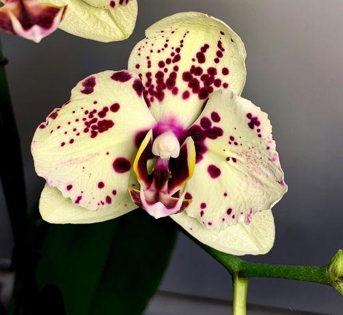 Продам орхидею albufeira бабочка
