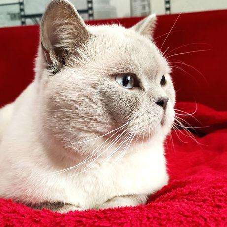 Шотландський кіт вязка.В'язка кота.Поинт