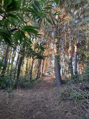 Terreno rústico com pinheiros e árvores de fruto 6900m quadrados