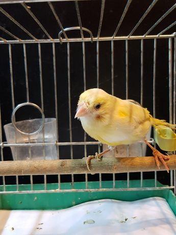 Kanarek Samiec Nr 12 Wysyłam ptaki kurierem