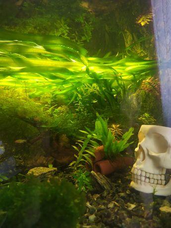 Nurzaniec wodny roślina akwariowa duża.