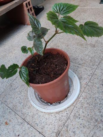 Begonia arbustiva
