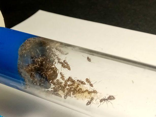 ВНИМАНИЕ! Муравьи Lasius niger подрощенная колония!+ ПОДАРОК!!!