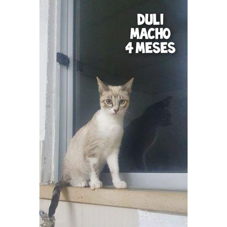 Duli- gatinho bebé para adoção