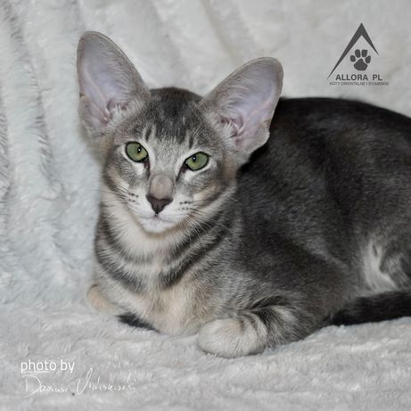 Koty, Kocięta orientalne