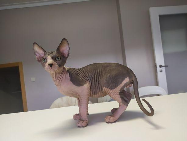 Gatinho Sphynx  - gatos sem pelo