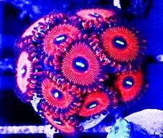Zoanthus  PREMIUM akwarium morskie Olszty sklep zoologiczny Pirania