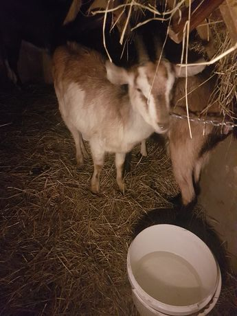 Koza alpejska mleczna