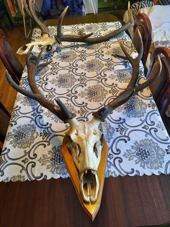 Poroże jelenia wieniec 5,1kg