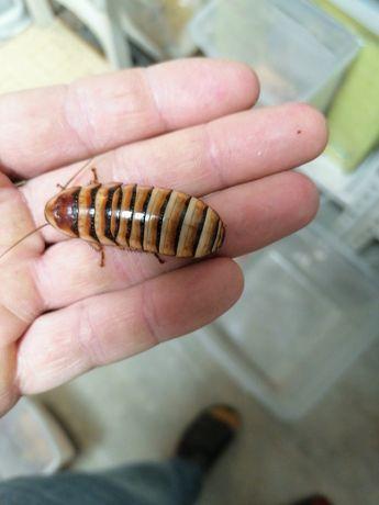 Karaczany Elliptorhina javanica. 20szt, 5-6cm