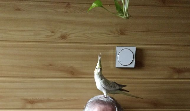 Papugi- nimfa ręcznie karmiona samiczka.