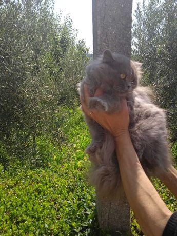 Gato persa com 11 meses