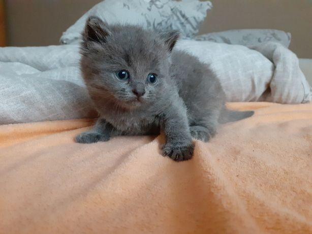 Kot Brytyjski RODOWÓD krótkowłosy niebieski liliowy kotki brytyjskie