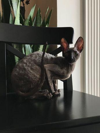 Чёрный Принц  котик корниш рекс