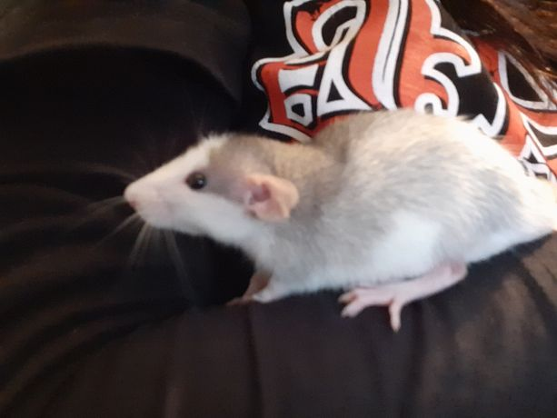 Oddam szczurka dumbo