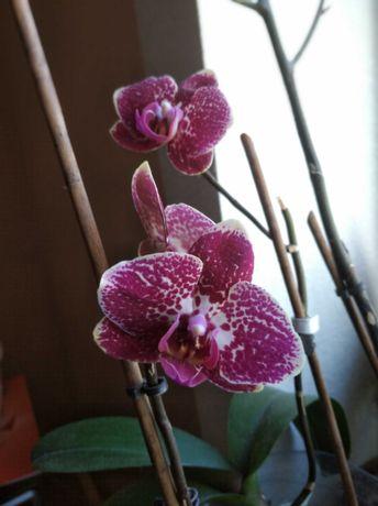 Обмін орхідеями( детками)