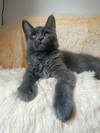 Мейн-Кун котята редкого окраса