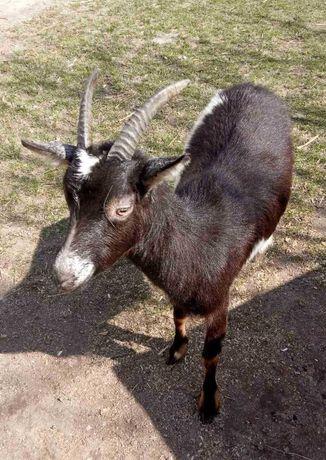 Дійна коза молочної породи