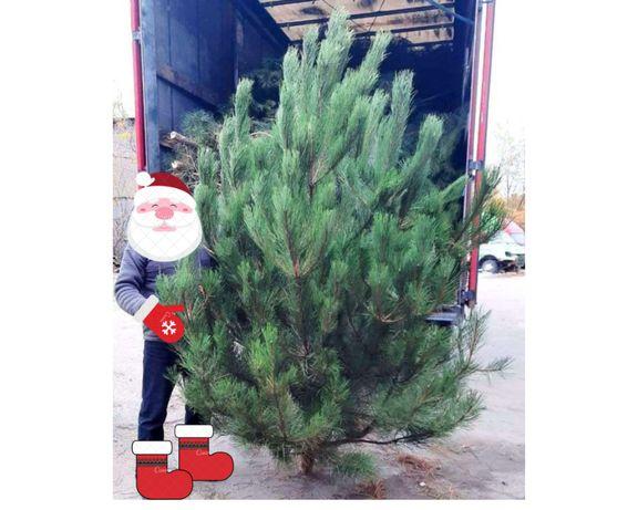 Сосна крымская новогодняя опт и розница, елки натуральная