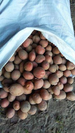 Картопля Алладін