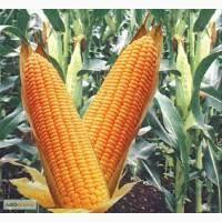 """Семена кукурузы гибрид """"Муасон""""( фракция стандарт)"""