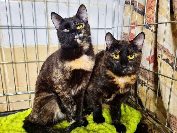 Девочки-красавицы Клер и Кети, 8 месяцев, кошки ищут дом, котята