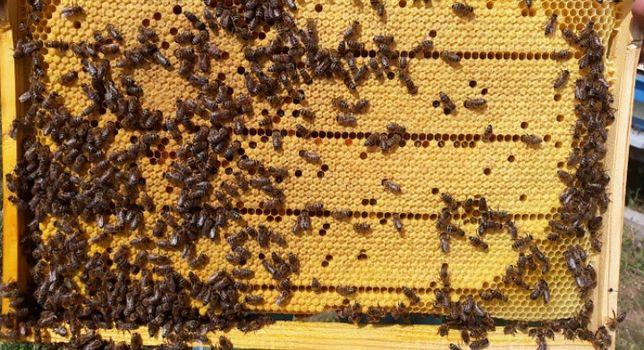 продам бджолопакети оптом роздріб